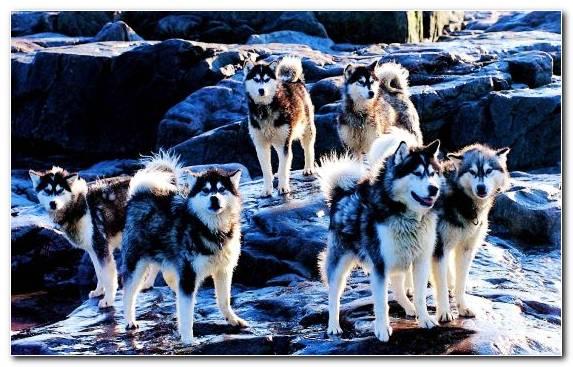 Image Puppy Sled Dog Racing Dog Breed Dog Like Mammal Canadian Eskimo Dog