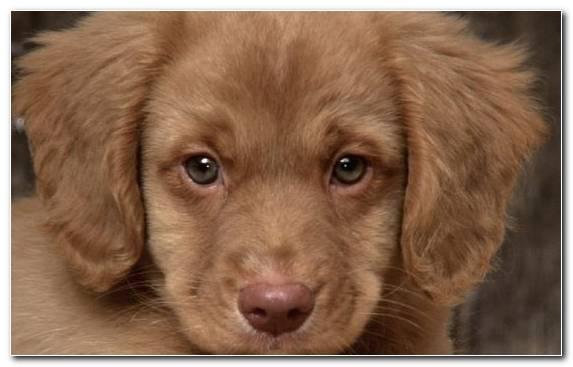 Image Puppy Snout Dog Like Mammal Hunting Dog Labrador Retriever