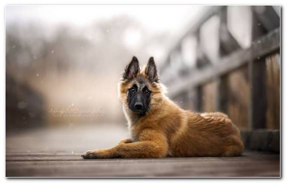 Image Puppy Snout Old German Shepherd Dog Dog Breed Group King Shepherd