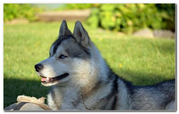 Image Puppy West Siberian Laika Dog Breed Dog Like Mammal Alaskan Klee Kai