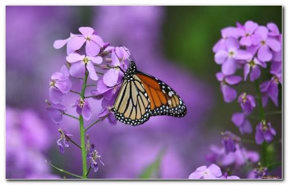 Image Purple Brush Footed Butterfly Pollinator Invertebrate Nectar