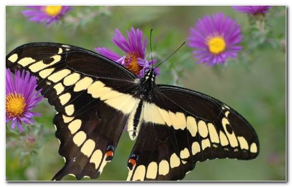 Image Purple Flower Insect Swallowtail Butterfly Moths And Butterflies
