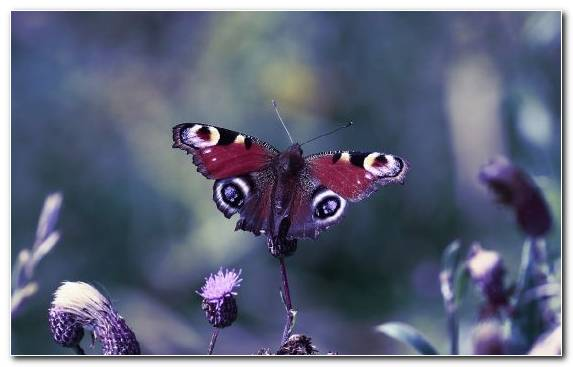 Image Purple Invertebrate Brush Footed Butterfly Pollinator Butterfly