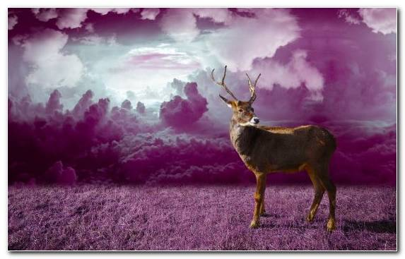 Image Purple Reindeer Deer Antler Wildlife