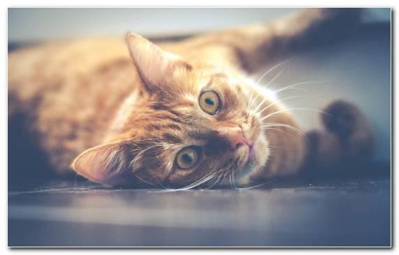 Image Purr Snout Tabby Cat Kitten Kennel