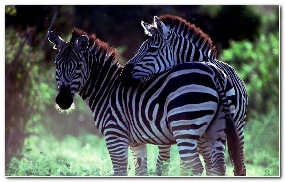 Image Quagga Mountain Zebra Zebra Terrestrial Animal Herd