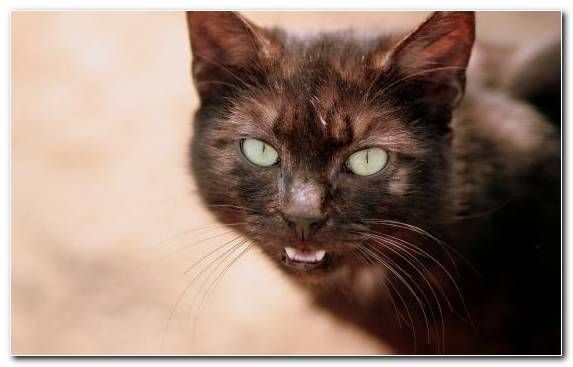 Image Quotation Cat Nose Burmese Cat Maine Coon