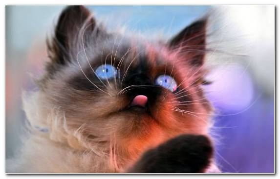 Image Ragdoll Dog Small To Medium Sized Cats Nose Persian Cat