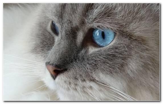 Image Ragdoll Felidae Cat Cat Breed Burmese Cat