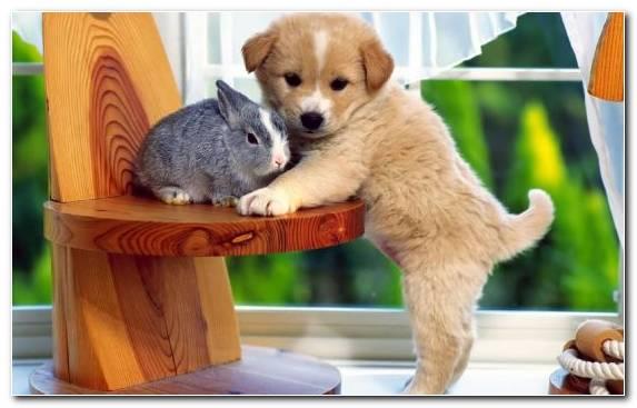 Image Rare Breed Dog Bichon Frise Dog Breed Group Dog Breed Dog Like Mammal