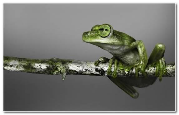 Image Red Eyed Tree Frog Tree Frog Poison Dart Frog Amphibian Frog