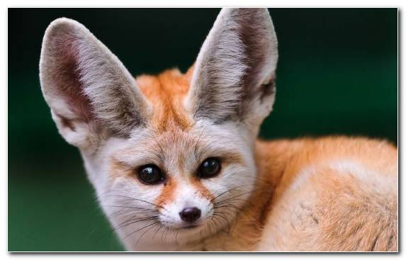 Image Red Fox Sahara Terrestrial Animal Fennec Fox Fox