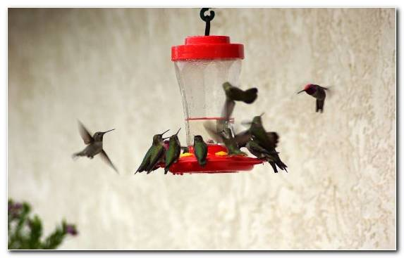 Image Red Hummingbird Pollinator Bird