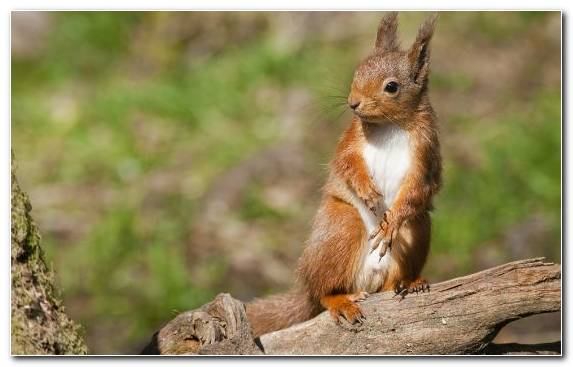 Image Red Squirrel Tree Squirrel Chipmunk Terrestrial Animal Rodent