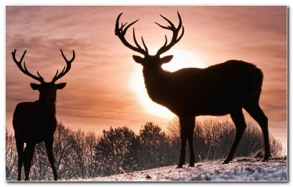 Image Reindeer Antler Wildlife Deer Red Deer