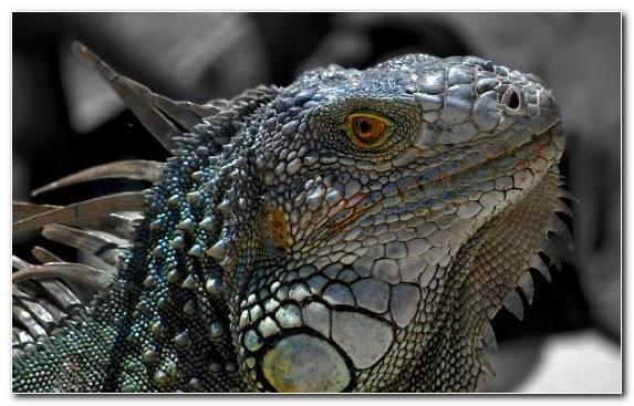 Image Reptile Macro Photography Iguanas European Green Lizard Chameleons