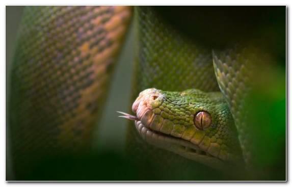 Image Reptile Mamba Western Green Mamba Serpent Fauna