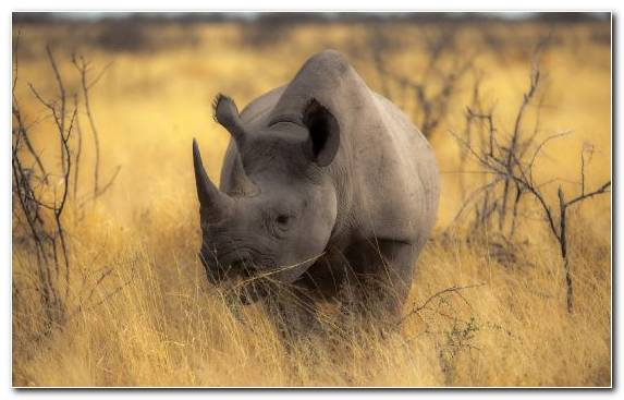 Image Rhinoceros Animal Desert Savanna Wilderness