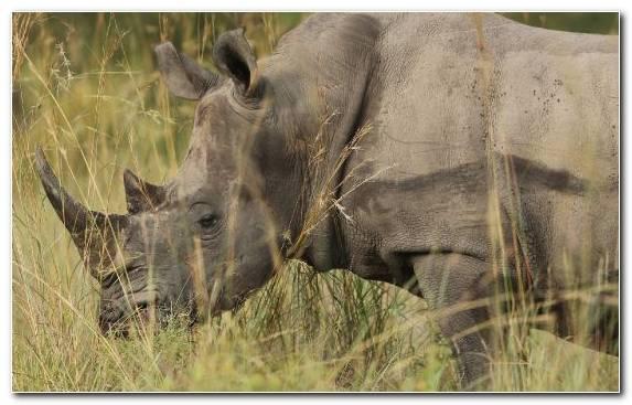 Image Rhinoceros Grass Desert Wilderness Black Rhinoceros