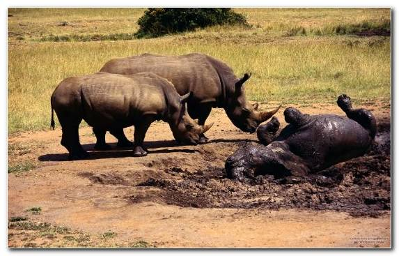 Image Rhinoceros Horn Savanna Elephant Animal