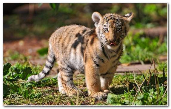 Image Roar Whiskers Cuteness Bengal Tiger Wildlife