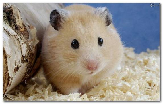 Image Rodent Cuteness Whiskers Hamster Muroidea