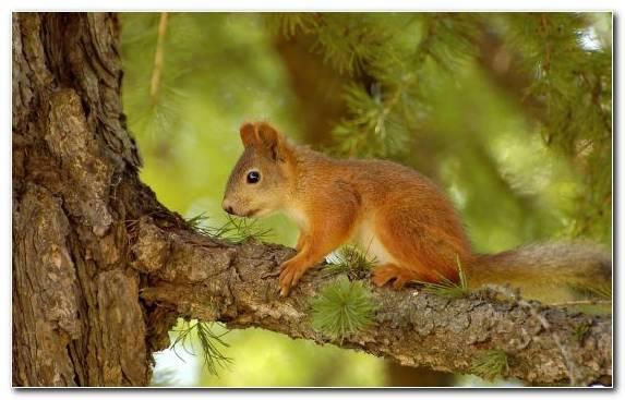 Image rodent fox squirrel tree squirrel pine