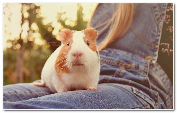 Image Rodent Guinea Pig Gerbil Snout Animal