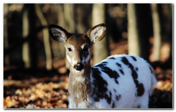 Image Roe Deer Deer Wildlife Antler Snout