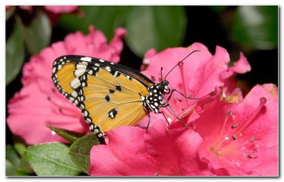 Image Rose Pink Moths And Butterflies Invertebrate Insect