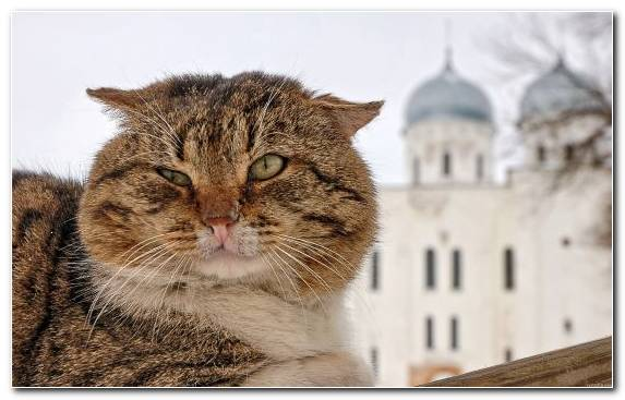 Image Russia Dragon Li Russian Tabby Cat