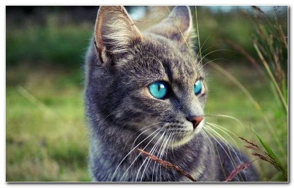 Image Russian Blue Kitten Whiskers Tabby Cat Bengal Cat
