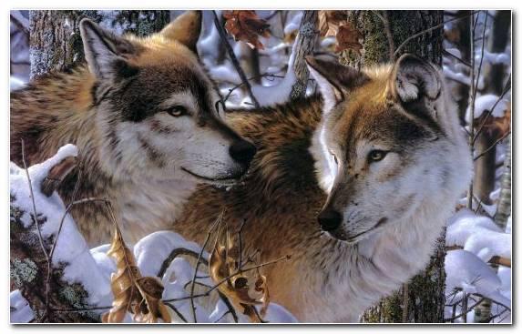 Image Saarloos Wolfdog Arctic Wolf Canis Lupus Tundrarum Wildlife Animal
