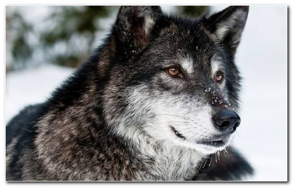 Image Saarloos Wolfdog Dog Breed Dog Like Mammal Tamaskan Dog Snout
