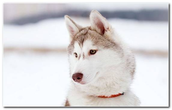 Image Saarloos Wolfdog Dog Dog Like Mammal Animal Husky