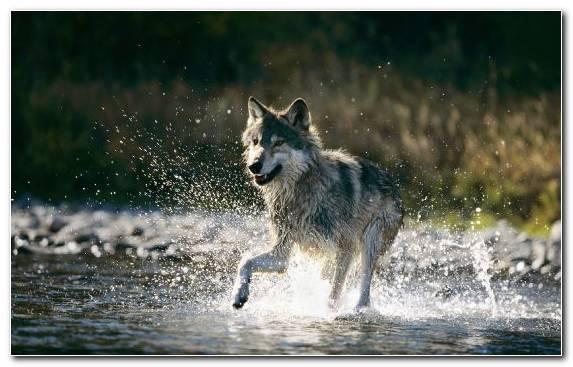 Image Saarloos Wolfdog Mammal Fauna Wolfdog Czechoslovakian Wolfdog