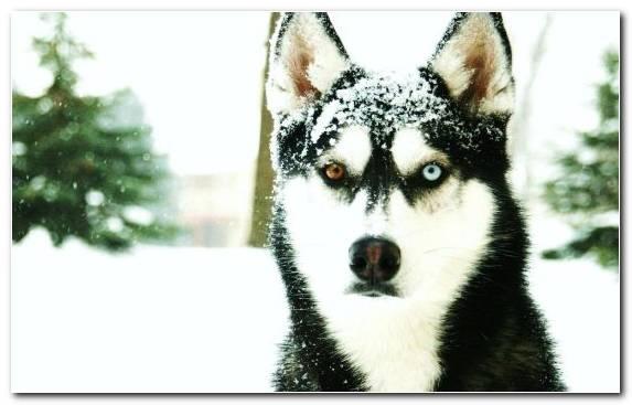Image Saarloos Wolfdog Miniature Siberian Husky Snout Dog Like Mammal Siberian Husky