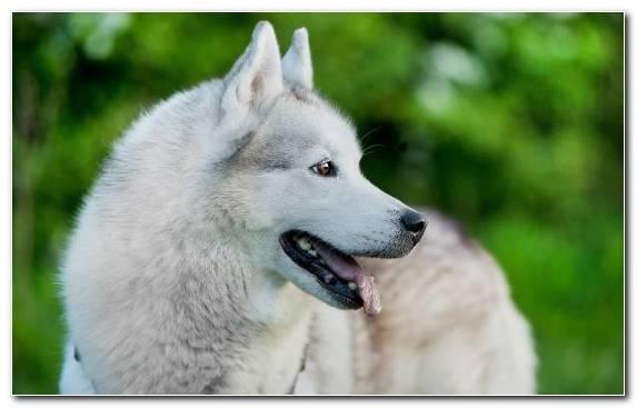 Image saarloos wolfdog sakhalin husky the siberian husky czechoslovakian wolfdog east siberian laika