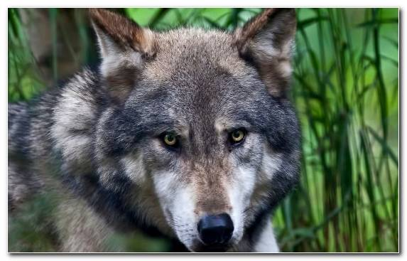 Image Saarloos Wolfdog Tamaskan Dog Wildlife Dog Like Mammal Fauna