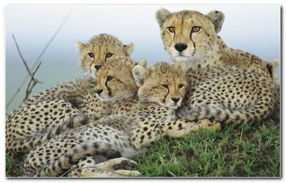 Image Safari Felidae Big Cat Small To Medium Sized Cats Wildlife