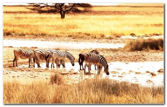 Image Safari Grassland Grazing Desert Savanna