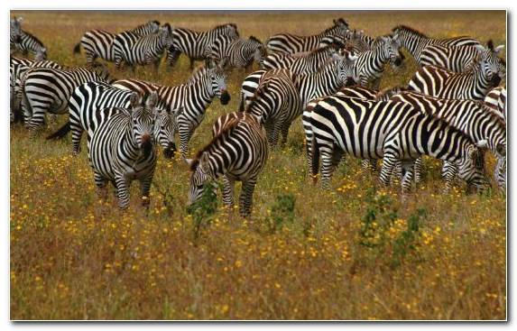 Image Safari Grassland Wildlife Savanna Grazing
