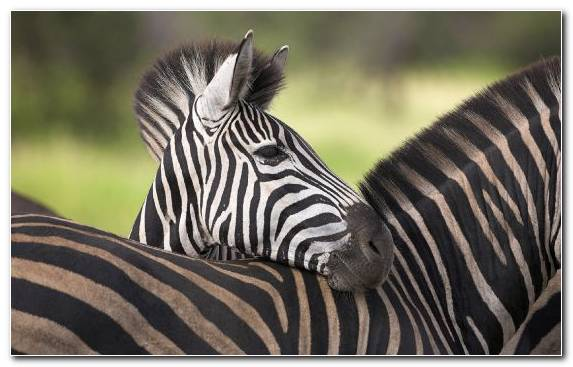 Image Safari Wildlife Painter Mane Zebra
