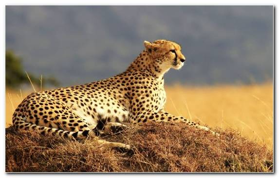 Image Safari Wildlife Wilderness Savanna Cat