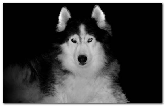 Image Sakhalin Husky Alaskan Malamute Sled Dog Puppy Dog Breed