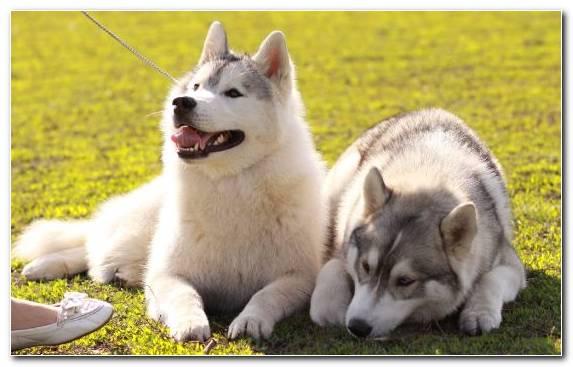 Image Sakhalin Husky Czechoslovakian Wolfdog Tamaskan Dog Canadian Eskimo Dog East Siberian Laika