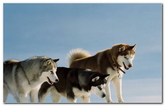 Image Sakhalin Husky Dog Breed Alaskan Malamute Sled Dog Film