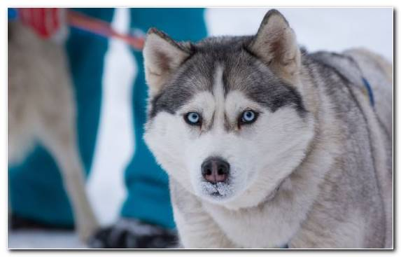 Image Sakhalin Husky Dog Breed Breed Alaskan Malamute Dog Breed Group