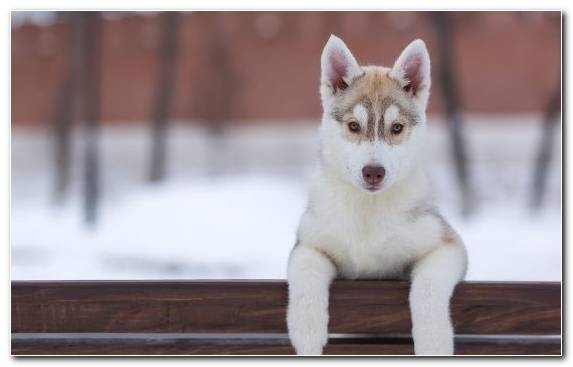 Image Sakhalin Husky Dog Like Mammal Saarloos Wolfdog Pet Tamaskan Dog