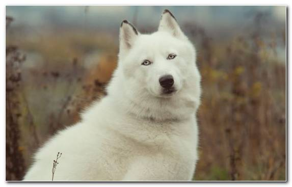 Image Sakhalin Husky Greenland Dog West Siberian Laika Animal Shiba Inu